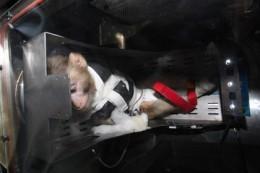 обезьяна иран декабрь 2013